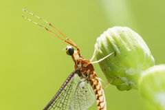 Mayfly portrait Stock Photos