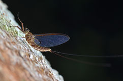 Mayfly Royalty Free Stock Images