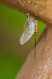 Mayfly resting under old timber bridge