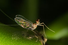 Mayfly Super Macro Stock Photography