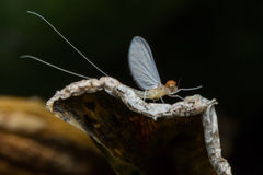 Mayfly Super Macro Royalty Free Stock Photos