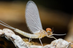 Mayfly Super Macro Stock Images