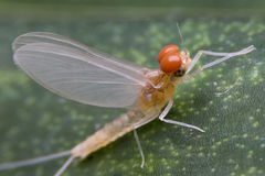 Mayfly Super Macro Stock Photo