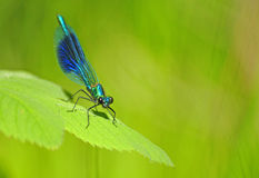Mayfly, textured conceptual image Stock Images