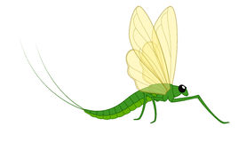 Mayfly Vector Insect