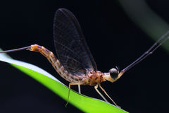 Mayfly w Azja Południowo-Wschodnia fotografia stock