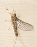 Mayfly on wall Stock Photo