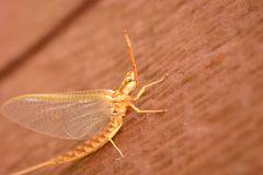 Mayfly on Wood Royalty Free Stock Photography