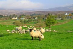 Mayo mountains sheep Royalty Free Stock Photography
