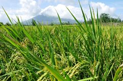 Mayon volcano rice fields Royalty Free Stock Photography