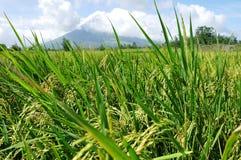 Mayon Vulkan-Reisfelder lizenzfreie stockfotografie
