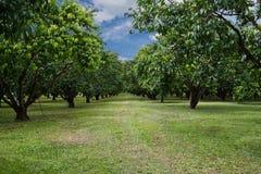 Mayongchid Maprang Marian Plum tree Stock Photography