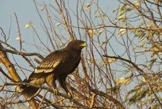 Mayor águila manchada Foto de archivo libre de regalías