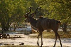 Mayor antílope de Kudu en el salvaje Fotografía de archivo libre de regalías