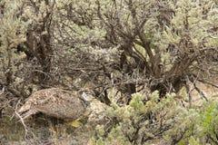 Mayor artemisa de Sage Grouse Hen Hiding In imagen de archivo libre de regalías
