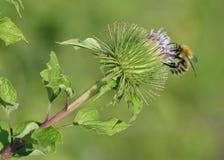 Mayor bardana con la abeja Fotografía de archivo libre de regalías