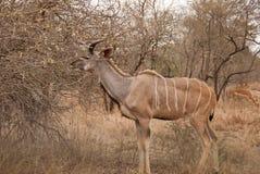 Mayor Kudu Foto de archivo libre de regalías
