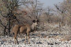 Mayor Kudu imagen de archivo libre de regalías