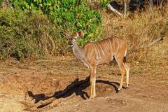 Mayor Kudu, antílope, Botswana fotos de archivo