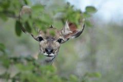 Mayor Kudu femenino que mira de detrás un arbusto fotos de archivo