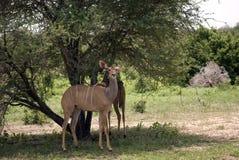 Mayor kudu, parque nacional de Selous, Tanzania Foto de archivo libre de regalías
