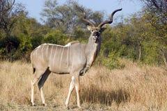Mayor Kudu (strepsiceros del Tragelaphus) Fotos de archivo libres de regalías