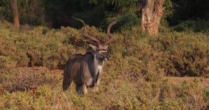 Mayor Kudu, strepsiceros del tragelaphus, varón que se coloca en Bush, parque de Samburu en Kenia metrajes
