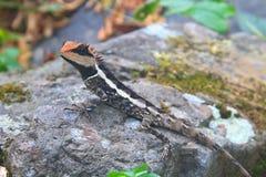 Mayor lagarto espinoso Imagenes de archivo