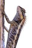 Mayor lagarto espinoso foto de archivo libre de regalías