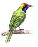 Mayor Leafbird verde Fotos de archivo libres de regalías