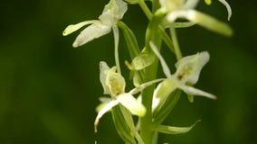 Mayor Mariposa-orquídea almacen de video