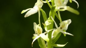 Mayor Mariposa-orquídea