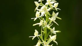Mayor Mariposa-orquídea en un prado almacen de video