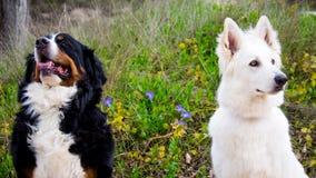 Mayor montaña suiza y perros de pastor suizos blancos Imagen de archivo libre de regalías