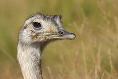 Mayor pájaro de Rhea Fotografía de archivo