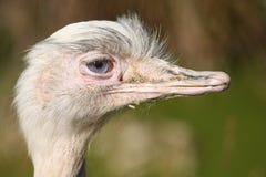 Mayor pájaro de Rhea Imágenes de archivo libres de regalías