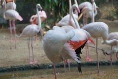 Mayor pájaro del flamenco Imágenes de archivo libres de regalías