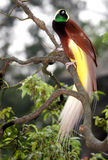 Mayor pájaro del paraíso Fotos de archivo