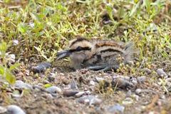 Mayor Pintar-ataque desde un escondite los pájaros lindos del bebé del benghalensis de Rostratula de Tailandia Foto de archivo