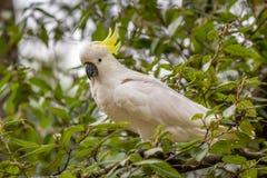 Mayor retrato Azufre-con cresta salvaje de la cacat?a, Kallista, Victoria, Australia, marzo de 2019 foto de archivo libre de regalías