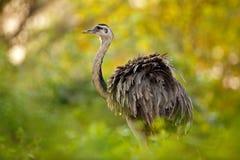 Mayor Rhea, Rhea americana, pájaro grande con las plumas mullidas, animal en el hábitat de la naturaleza, igualando el sol, Panta imágenes de archivo libres de regalías