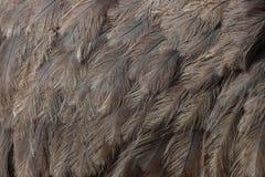 Mayor rhea y x28; Americana& x29 de Rhea; Textura del plumaje imágenes de archivo libres de regalías