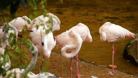 Mayor rosa de los flamencos con el pico entre las plumas - roseus de Phoenicopterus almacen de video
