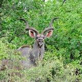 Mayor varón de Kudu (strepsiceros del Tragelaphus) Fotos de archivo libres de regalías