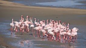 Mayores flamencos en la bahía de Walvis en Namibia imagen de archivo