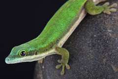 Mayotte day gecko (Phelsuma nigristriata) Stock Photography
