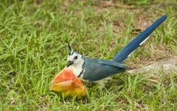 Maypie Jay που τρώει το καρπούζι Στοκ φωτογραφία με δικαίωμα ελεύθερης χρήσης
