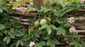 Maypops en Hun Purpere Hartstochtsbloemen Royalty-vrije Stock Afbeeldingen
