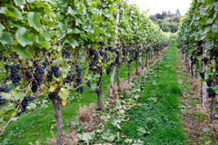 Mayschoss vineyards in Germany Royalty Free Stock Photos