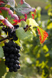 Mayschoss vingårdar i Tyskland Arkivfoton
